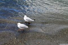 Seagulls in Wanaka
