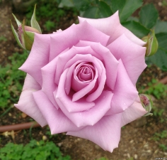 Roses in Osaka!